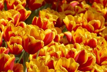 Tulip blooms are a variety of colors, and some are bicolored.