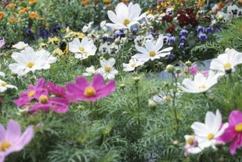 Light and airy cosmos bloom in white and shades of pink, red, and yellow.