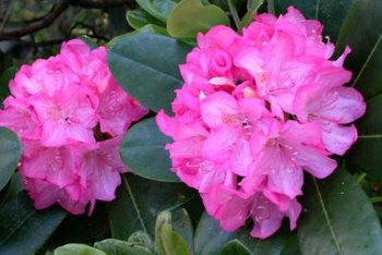 Rhododendrons bloom in an array of colors.