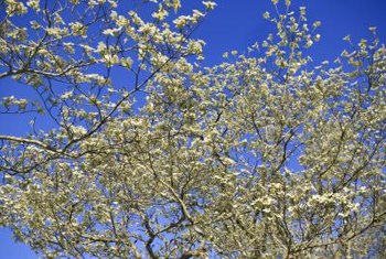 Gray dogwood should be transplanted before it produces flowers in late spring.