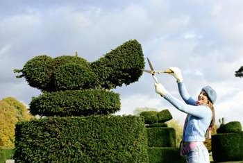 Thick, hedge-type evergreens are smart choices for dense topiaries.