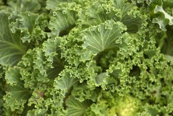 Kale provides both fresh and cooked greens.