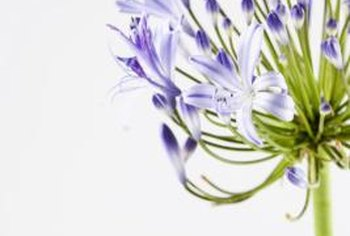 Agapanthus blooms during the summer.