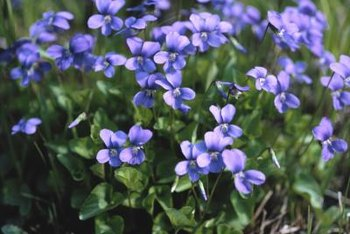 Sweet violets come in deep violet, bluish rose or white.