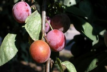 """Candy rosa"" plum trees produce large, sweet fruit."