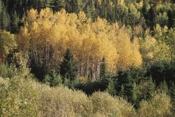 Quaking aspen leaves turn golden-yellow in fall.