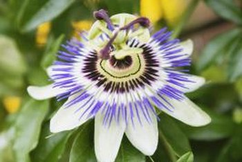Passion fruit flowers are intricate and beautiful.