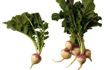 Certain turnip varieties produce better greens than roots.