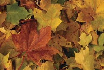 Collect fallen leaves to improve your lawn grass.