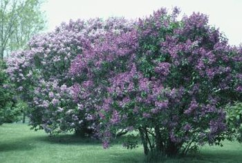 A healthy lilac shrub produces large numbers of flower spears each spring.