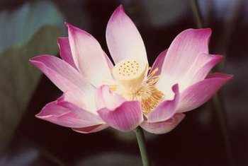 Lotus flowers have unusual seed pods that can be dried for floral arrangements.