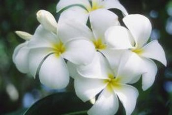 Frangipani trees produce attractive flowers and usually stay green year round.