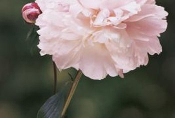Peony flowers are paler than their buds.