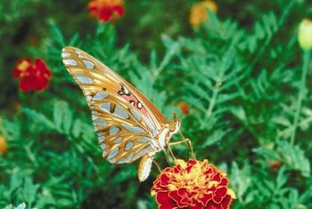 Lantana brings a splash of color, along with butterflies, to the garden.