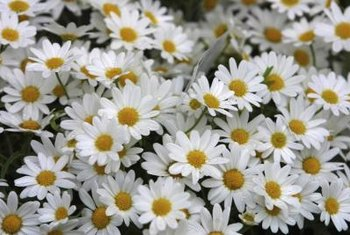 Weave daisy flower stems to make a daisy chain.