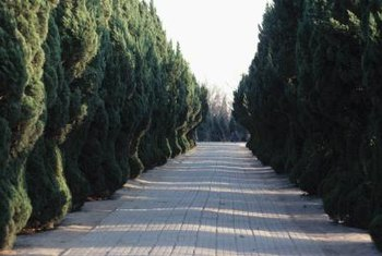 Tall cedar hedges flank a wide paved path.
