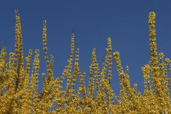 Forsythia hedges can be trimmed or left to grow naturally.