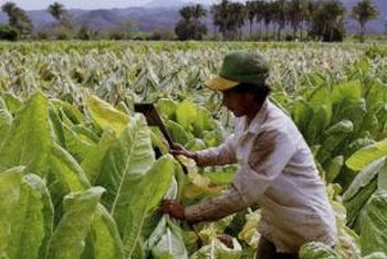 Topping commercial tobacco is a labor-intensive task.