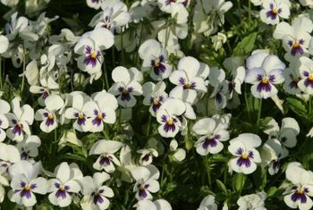 In the landscape, pansies are excellent as a border or in containers.