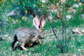 Rabbits can quickly eat all the tender wood of a cherry tree.