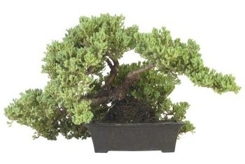 Many plants can be grown as bonsai.