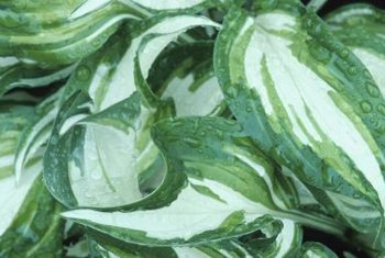 Hosta leaves can be solid colored or variegated.