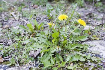 Spray dandelions (Taraxacum officinale) as soon as they appear.