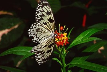 The lantana flowers attract butterflies.