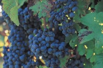Grapes are a lovely, seasonally changing addition to any home.