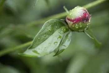 Unlike many other perennials, pruning off peony buds won't give you a fuller plant.