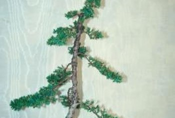 Japanes Juniper is conifer that grows well indoors as a bonsai tree.