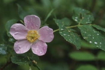 Wild dog rose plants produce single-blossom flowers.