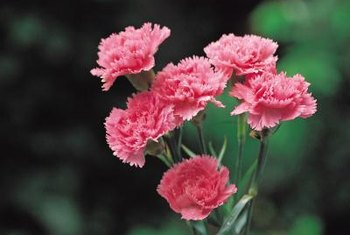 Garden carnations are smaller than those from the florist.