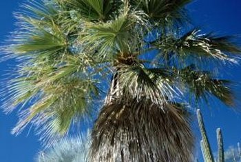 To avoid sunburned tree trunks, don't remove palm thatch during the summer.