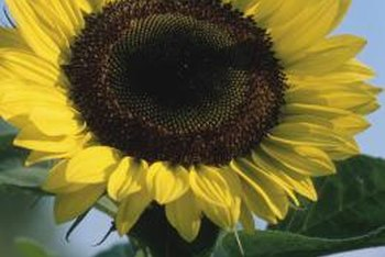 Pruning sunflower stalks before flower budding reduces their mature height.