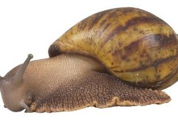 The brown garden snail is a common garden pest.