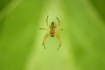 Spiders can weave a web of chills if they hang from evergreens.