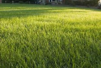 High-nitrogen fertilizer helps green up lawns fast.