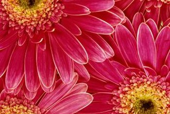 Gerbera daisies measure 2 to 5 inches in diameter.