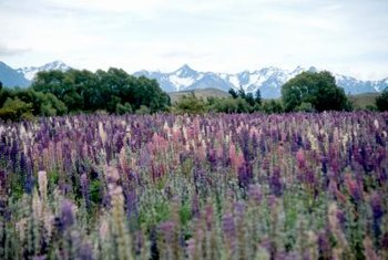 You should kill existing lupine plants if you have outdoor pets that tend to graze on your vegetation.