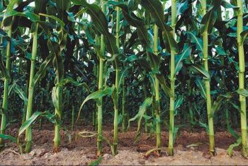 The spacing between corn stalks is important for crop production.