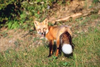 Foxes are beautiful creatures, but they don't belong in your garden.