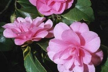 Camellia bush flowers resemble roses but have no fragrance.