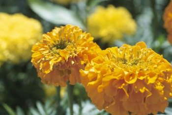 Marigolds offer a bright pop of color while deterring pests from your eggplant plants.