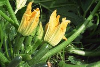 Monitor squash plants for problems daily, especially in wet weather.