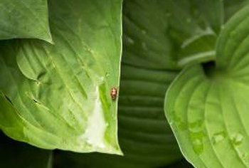 A hosta's green leaves may turn yellow from disease or pests.