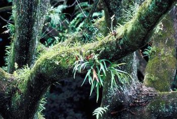 Staghorn ferns grow on branches in their native habitat.