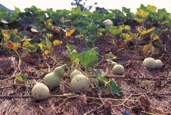Healthy gourds should be free of brown spots, a sign of disease.