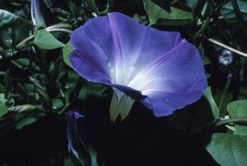Morning glory blooms open in the morning and shrivel closed by midday.