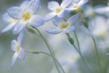 Forget-me-nots thrive in wet environments.